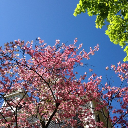 dogwood pink flowers blue sky green leaves