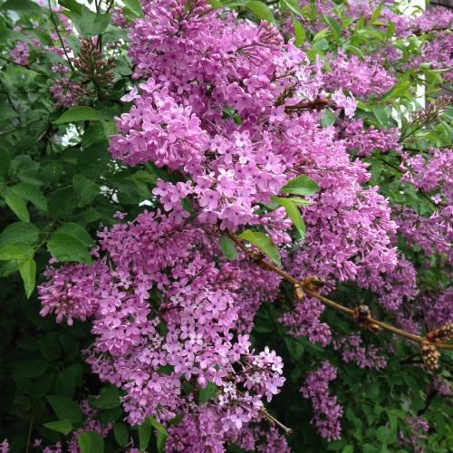 lilacs may