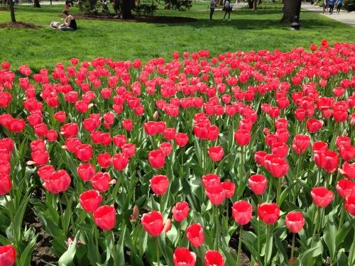 pink tulips boston public garden spring 2017