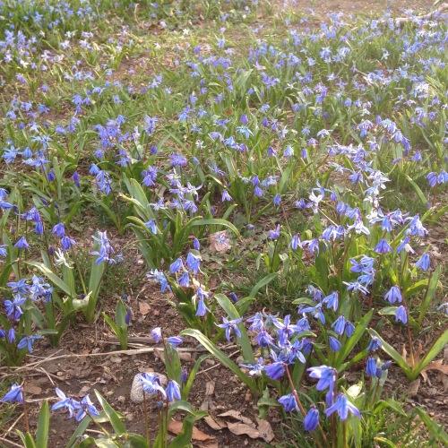 scilla flowers sunlight cambridge ma