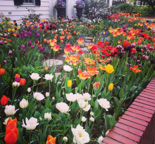 tulips multicolored bed