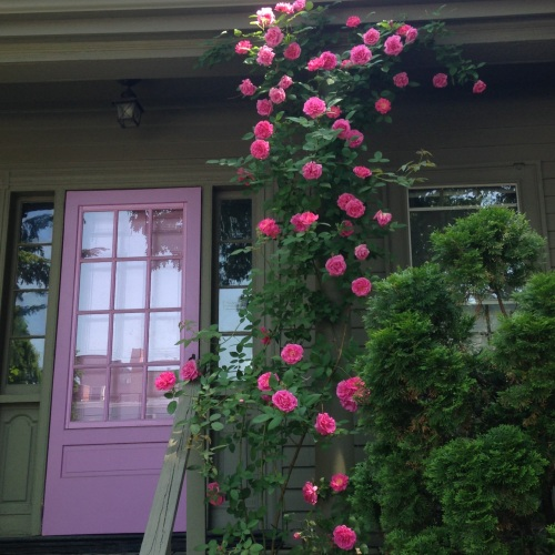 climbing roses purple door