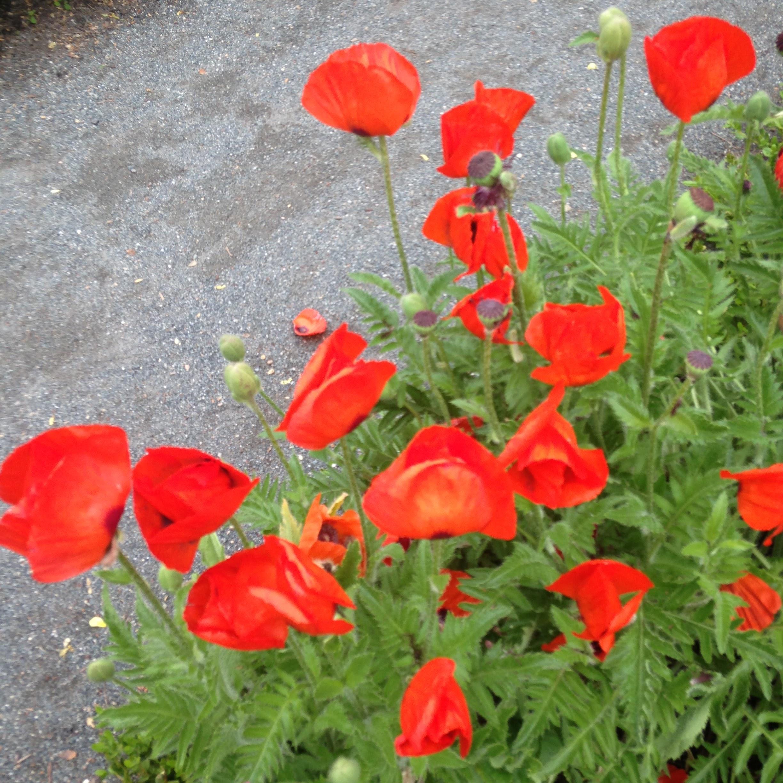 poppies red longfellow house garden