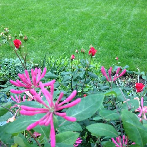 rosebud honeysuckle pink flowers