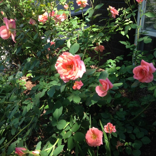 roses apricot sunlight