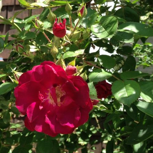 roses crimson