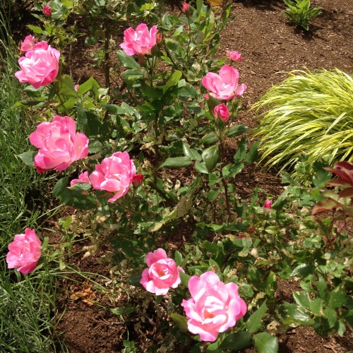 roses pink library