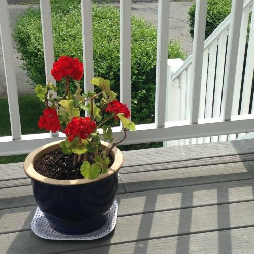 geraniums front porch
