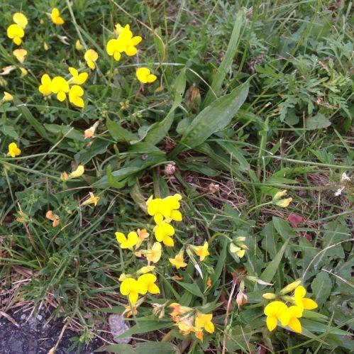 birdsfoot trefoil flowers