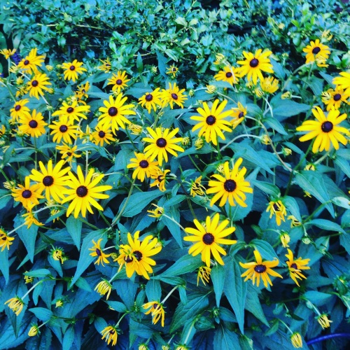 black eyed susans back bay