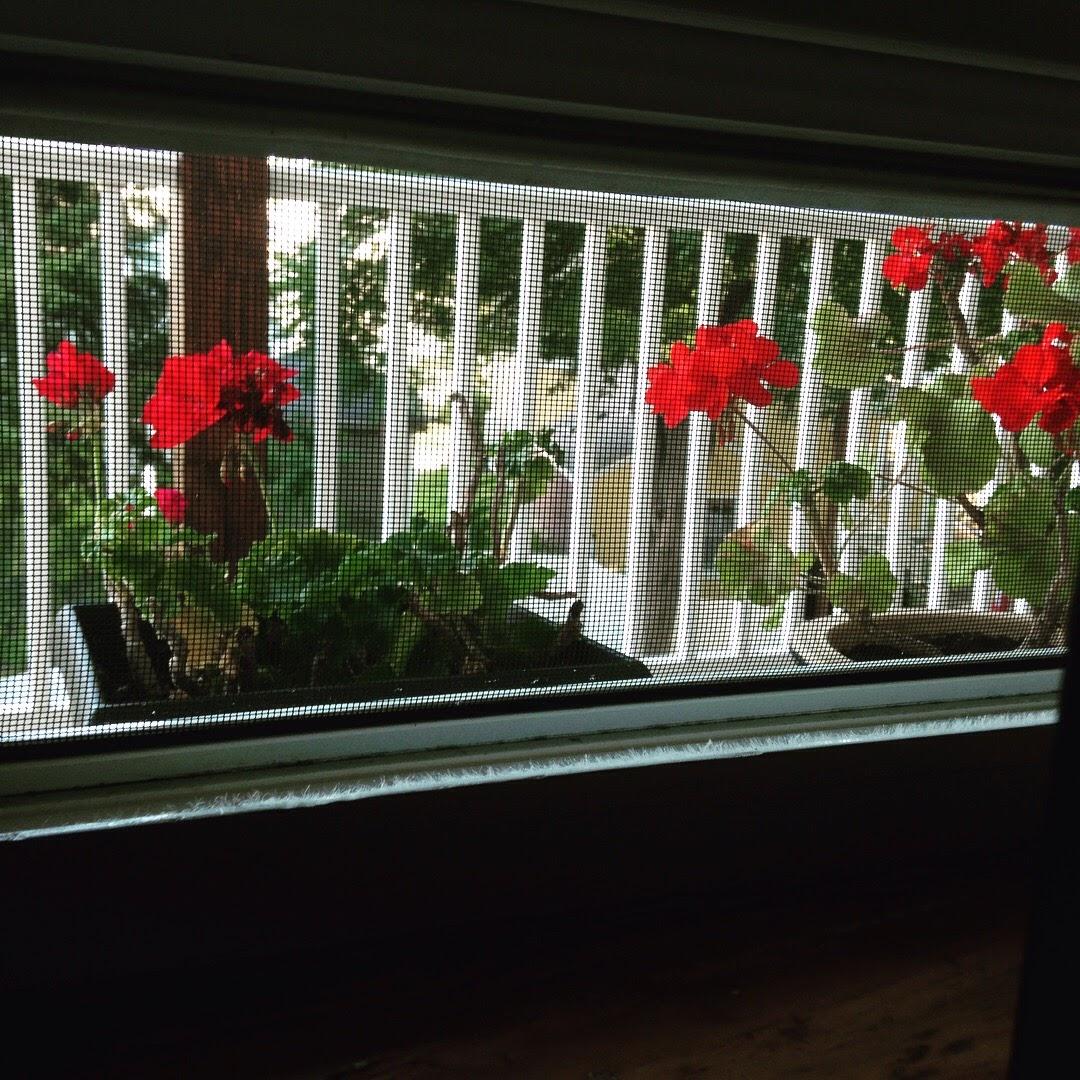 geraniums window screen back porch