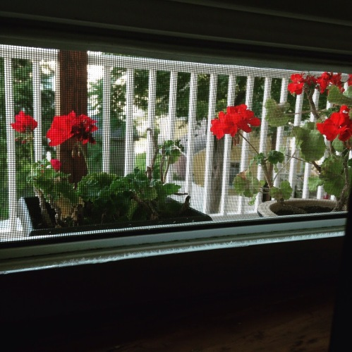 geraniums window screen back porch