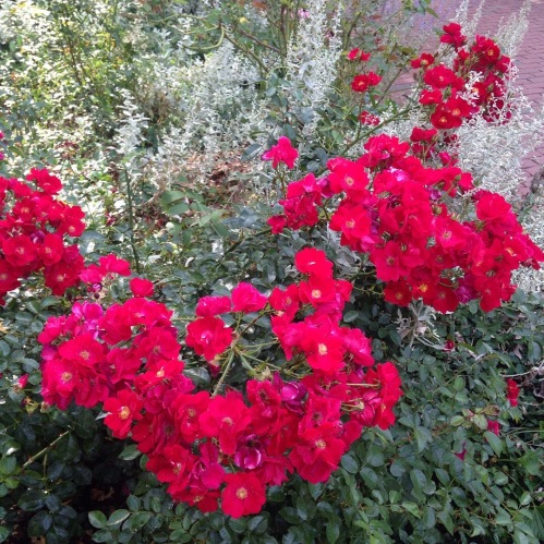 roses sage