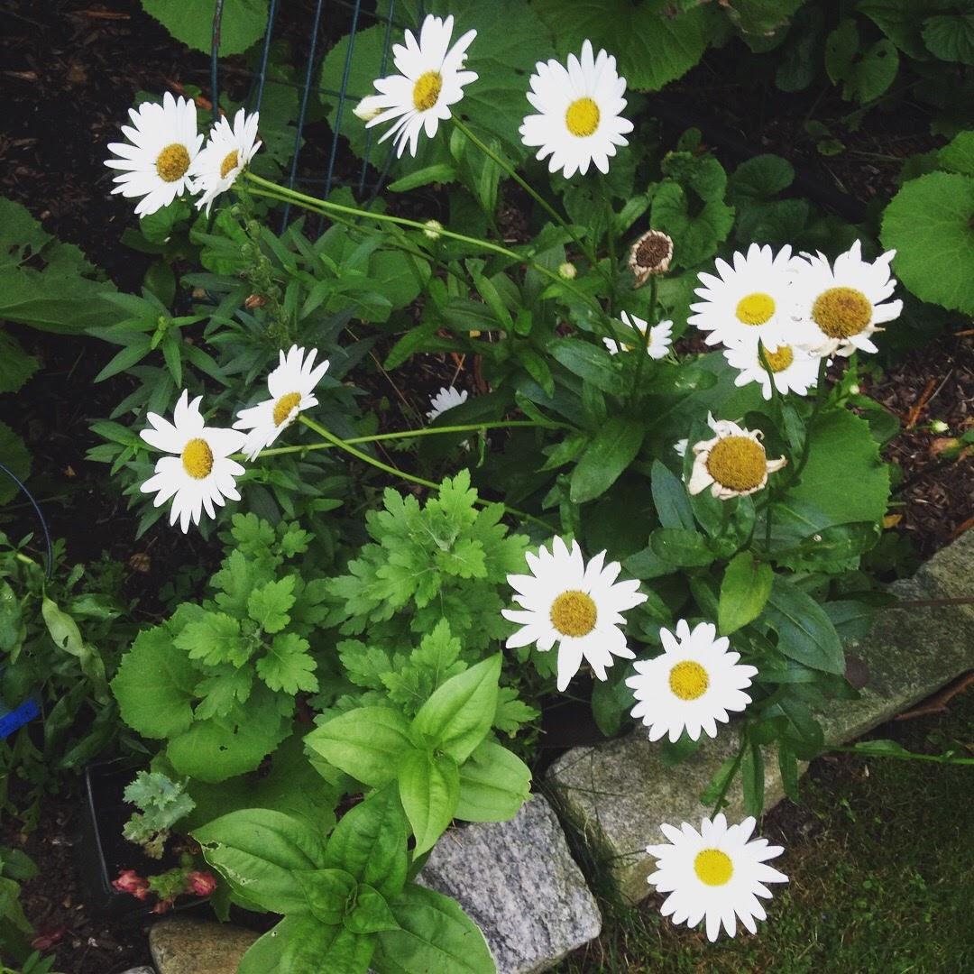 white daisies garden