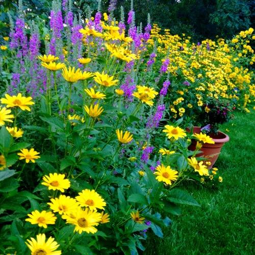 yellow daisies garden