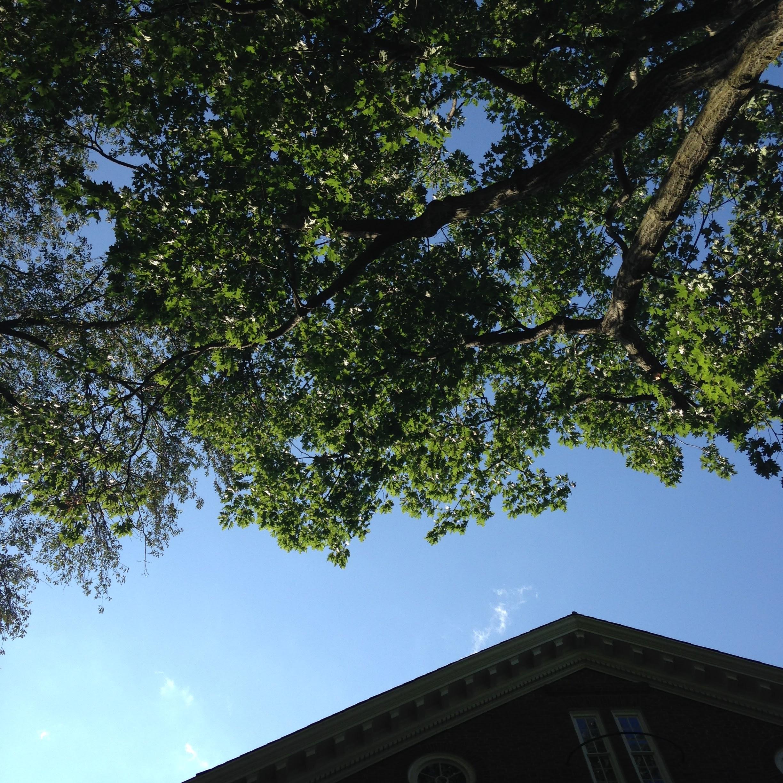 komorebi harvard yard tree sky