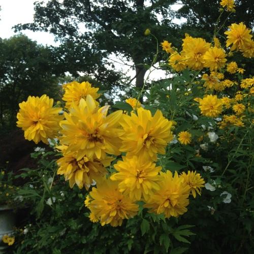 perennial sunflowers rockport