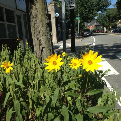 sunflowers darwins cambridge
