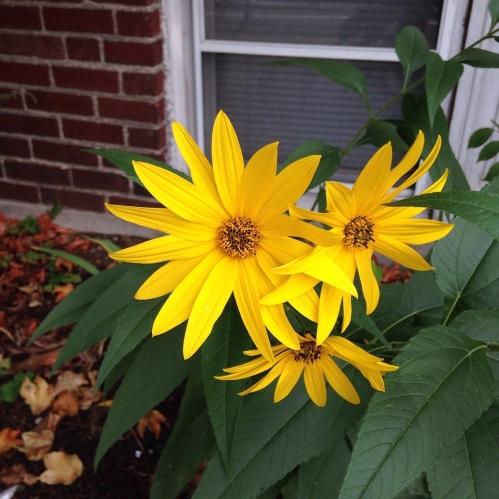 sunflowers d2 cambridge