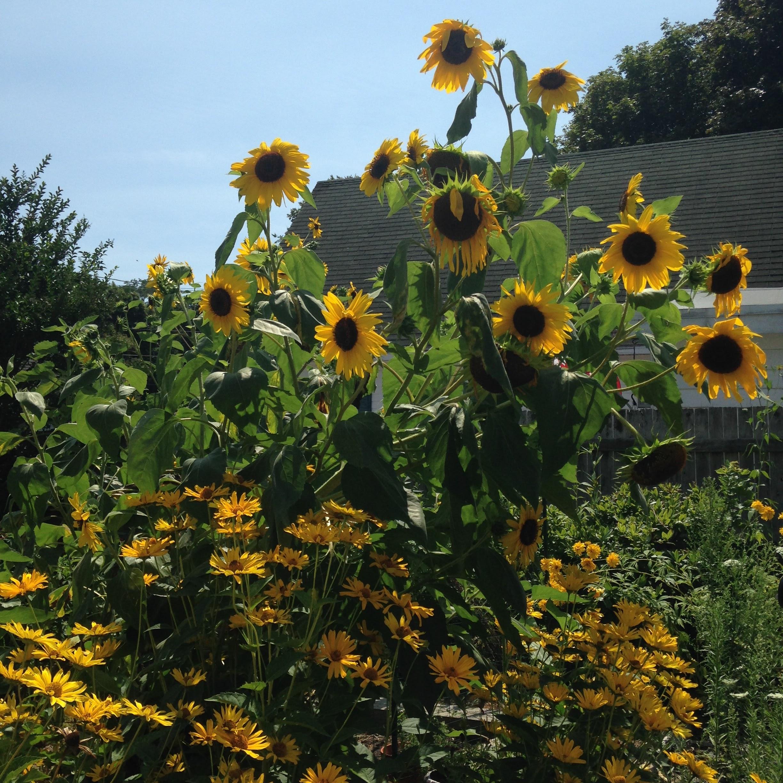 sunflowers rockport tall