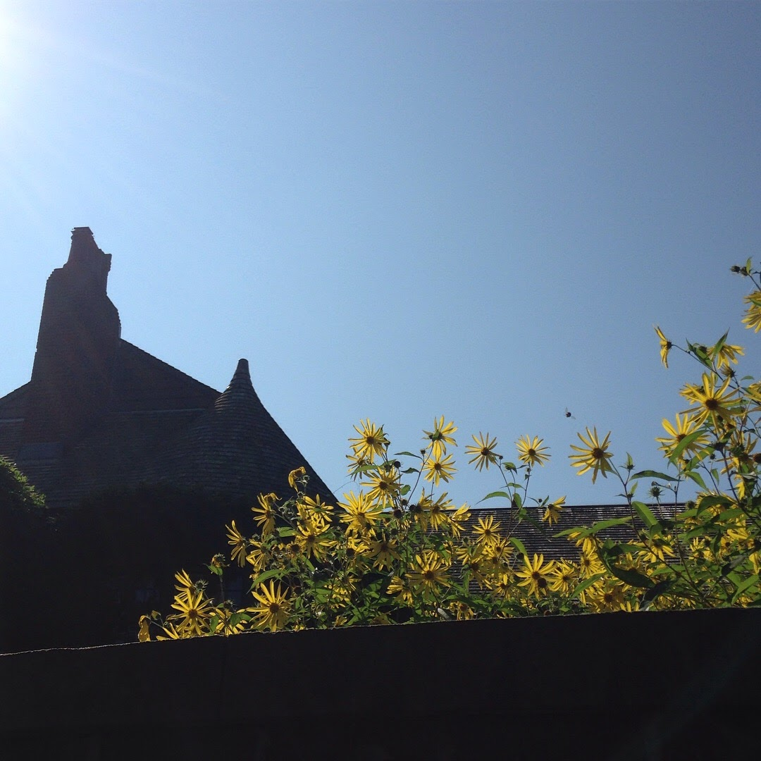 sunflowers tory row cambridge blue sky