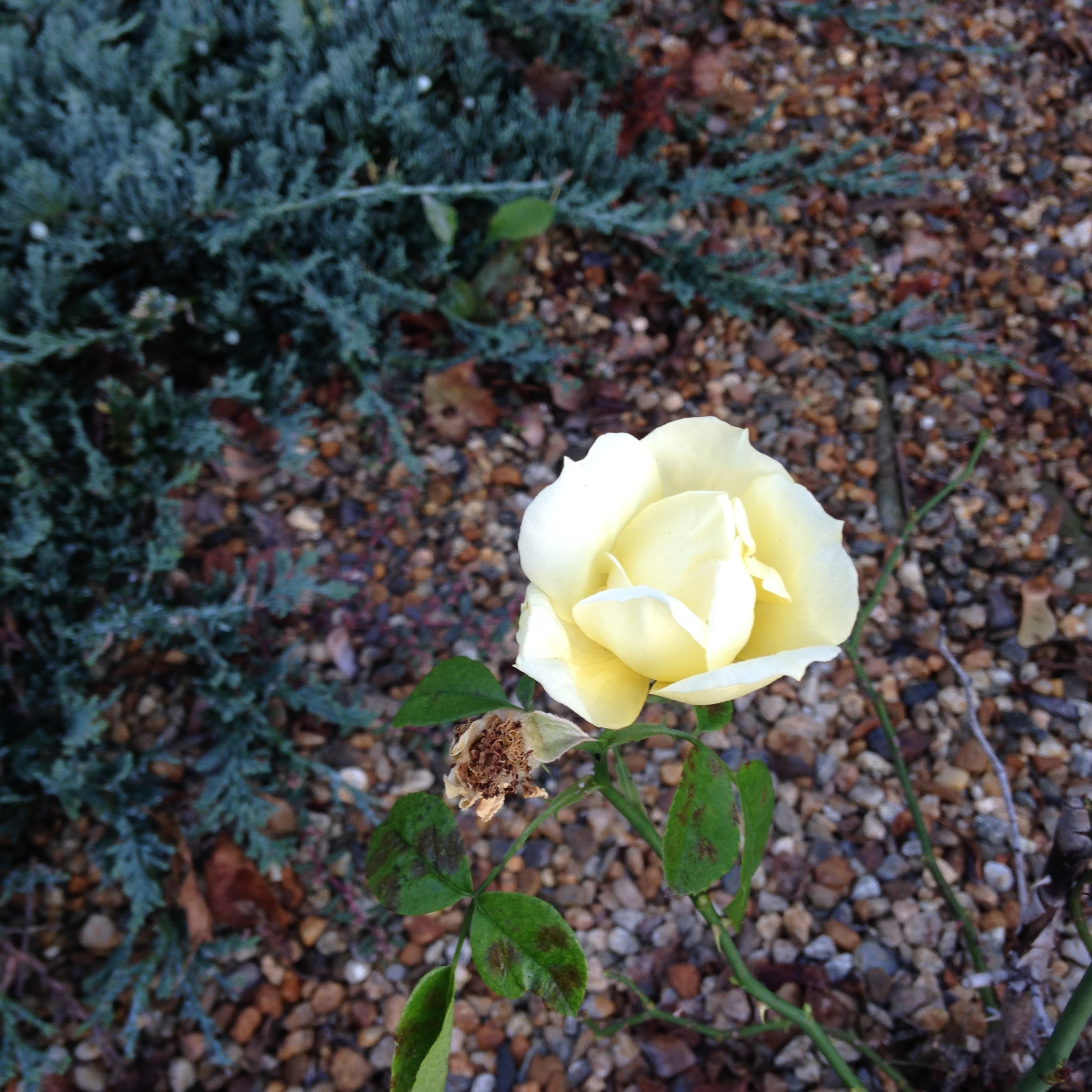 late yellow rose