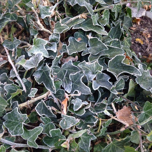 ivy leaves frost