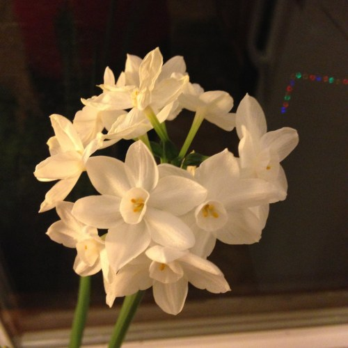 paperwhites flowers window night