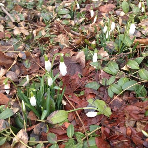 snowdrops dew flowers