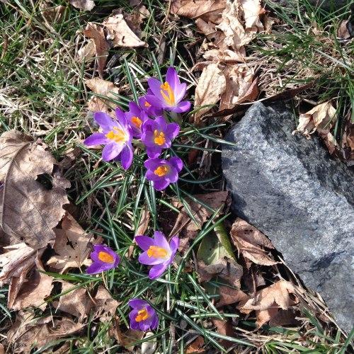 purple crocuses leaves