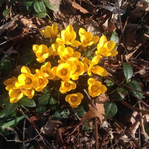 yellow crocuses open