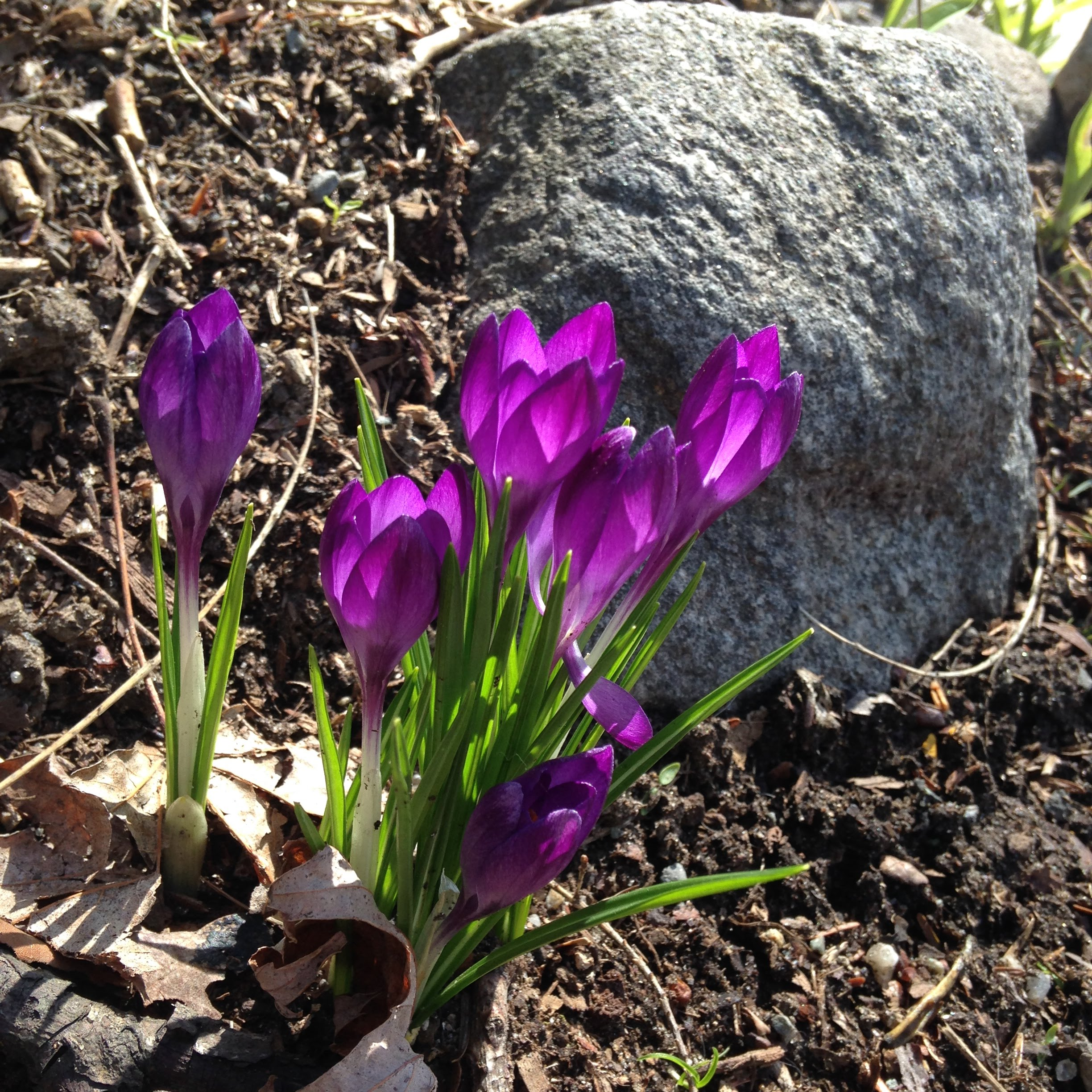 crocuses rock light flowerbed