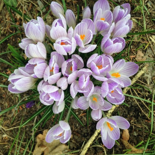 crocuses stripe flowers