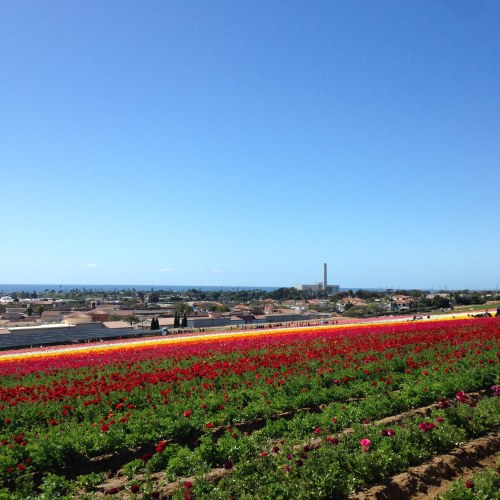 flower fields view carlsbad ca blue sky