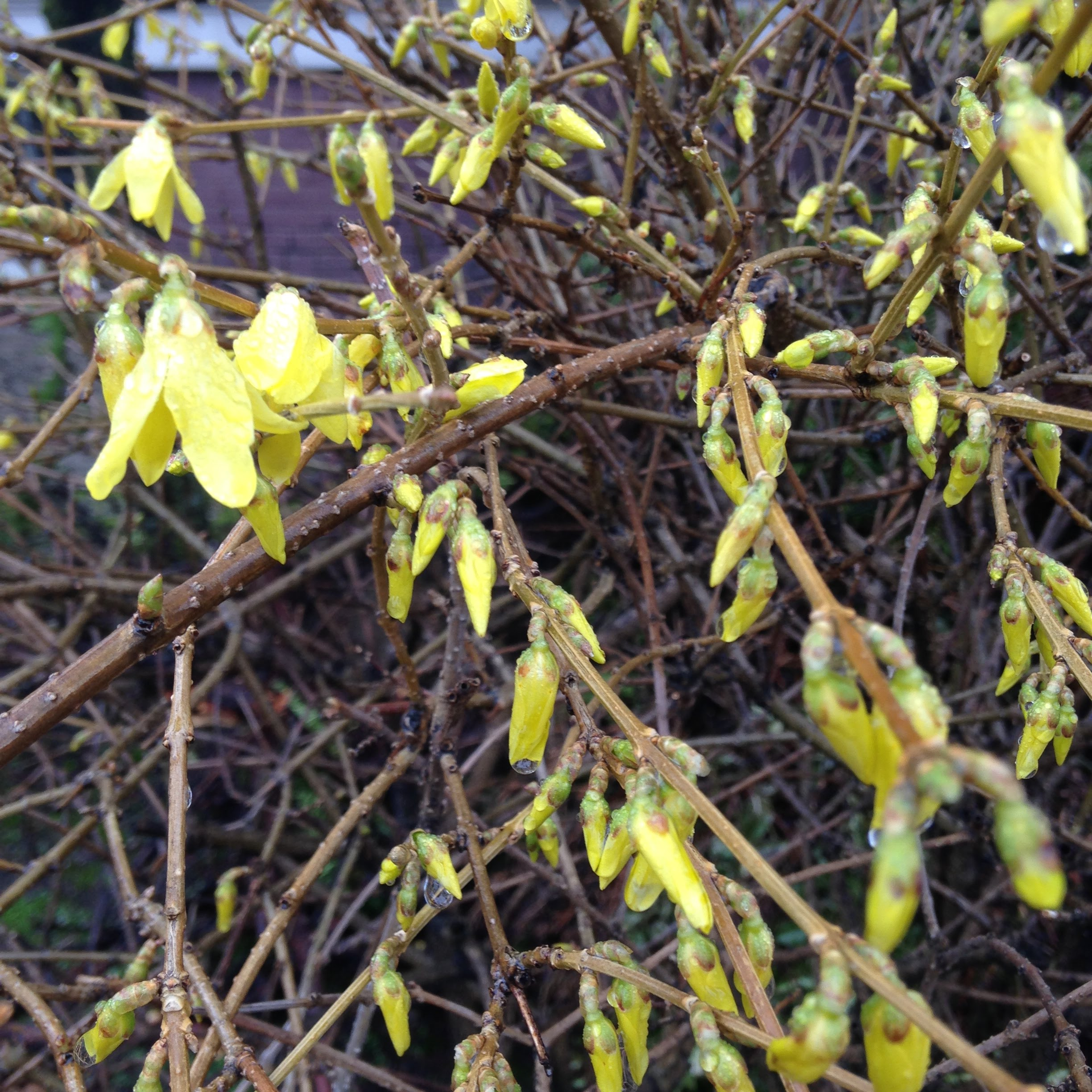 forsythia branches yellow flowers