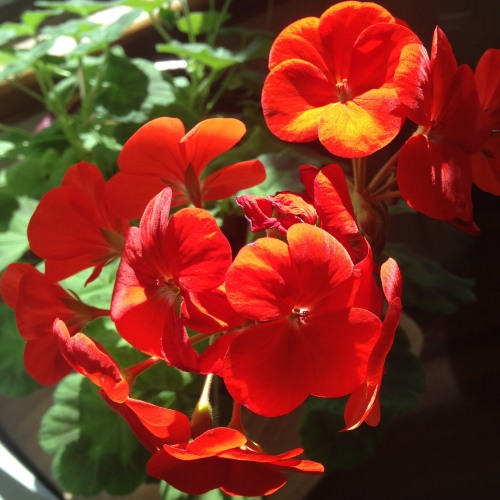 geraniums red flowers