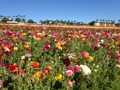 ranunculus multicolor flower fields
