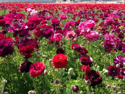 ranunculus flower fields carlsbad ca