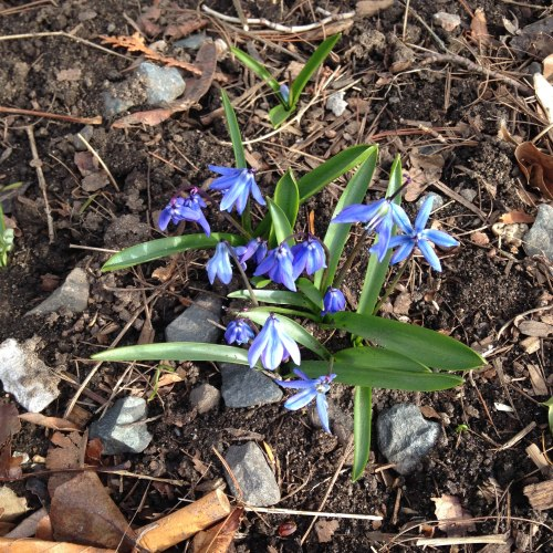 scilla flowers blue