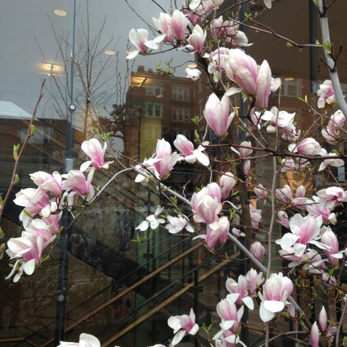 tulip magnolia tree blossoms