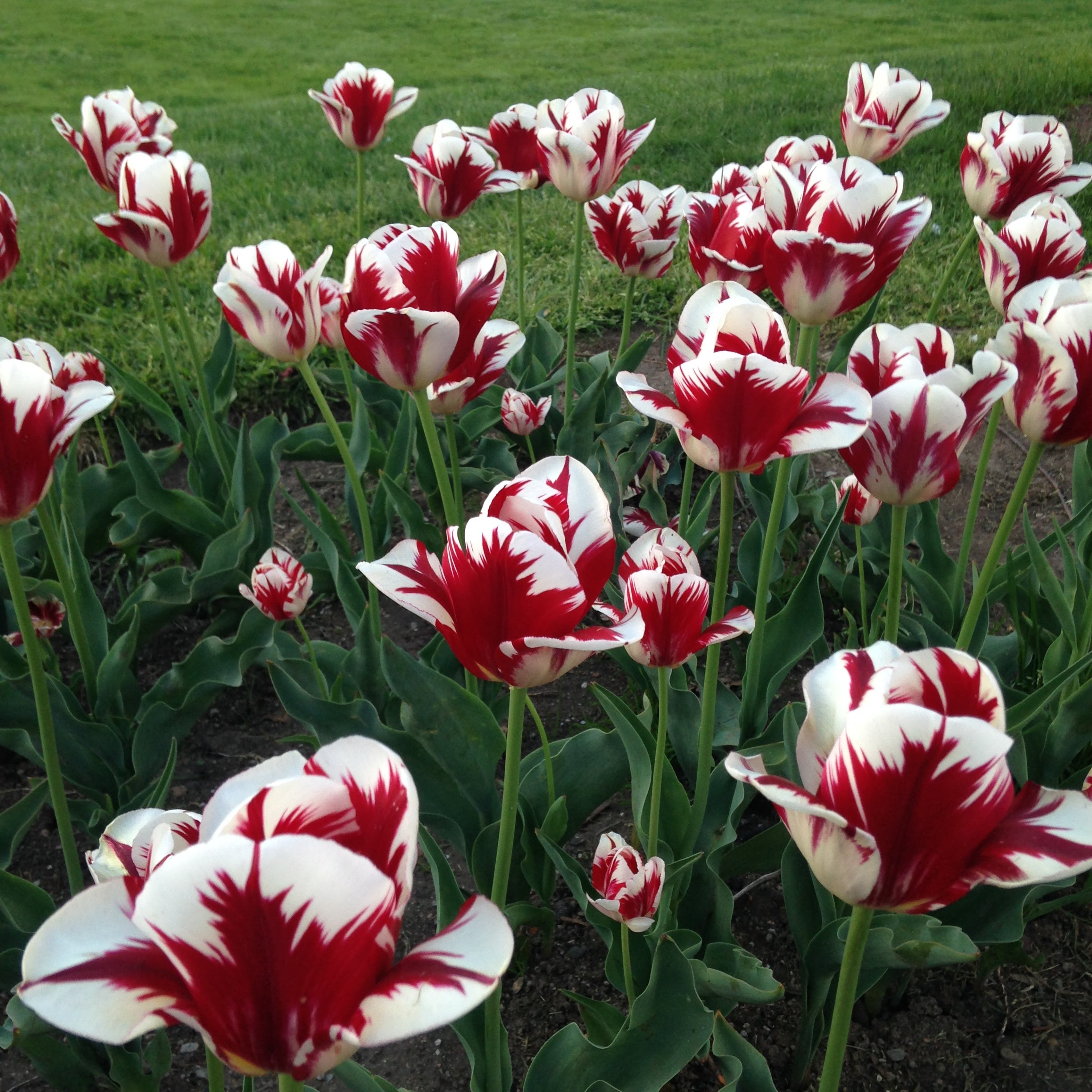 red white striped tulips