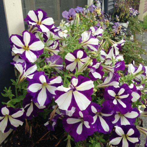 striped petunias window box flowers