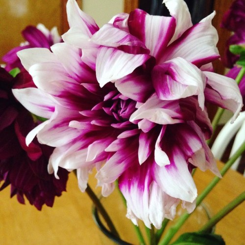 dahlia purple stripe