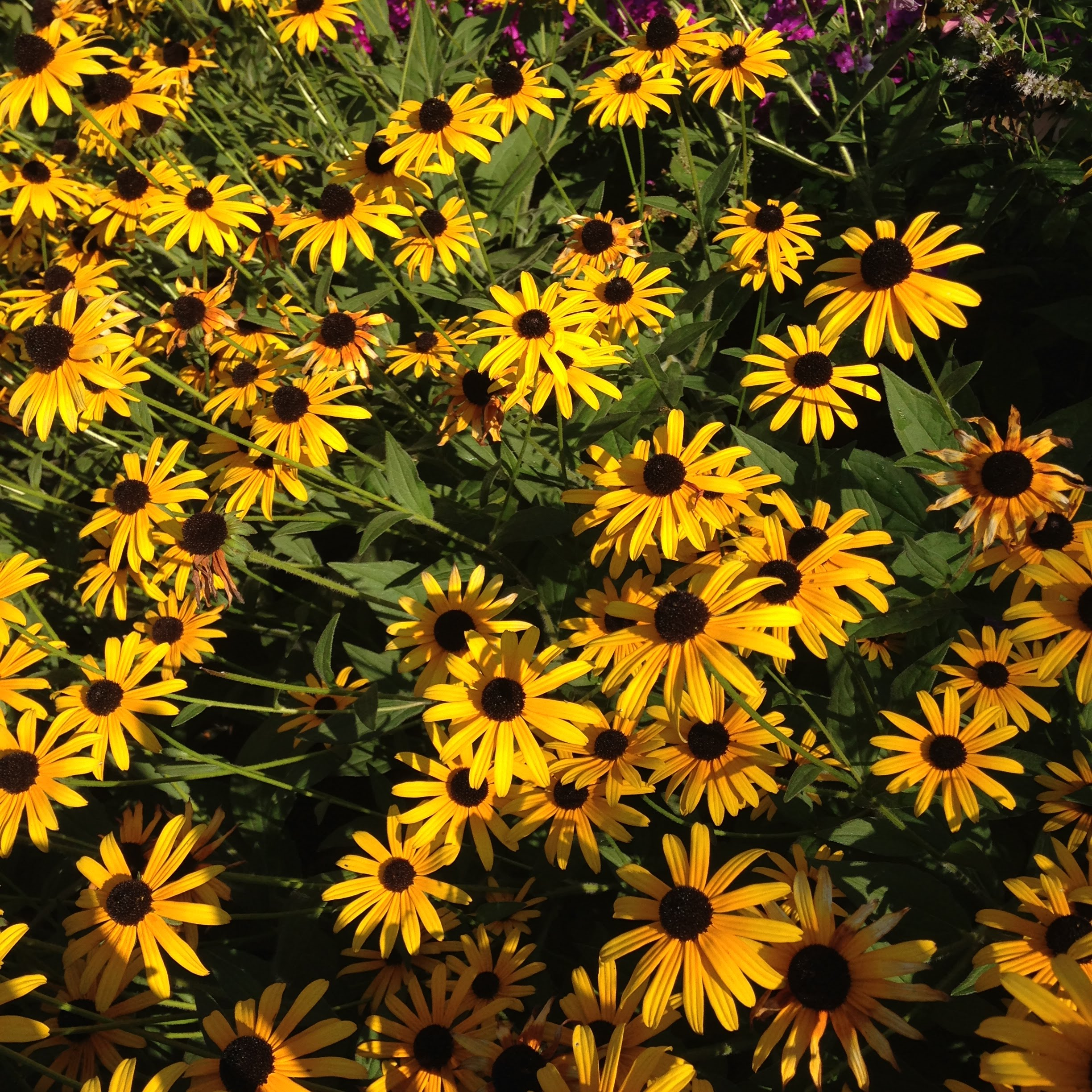black eyed Susans flowers
