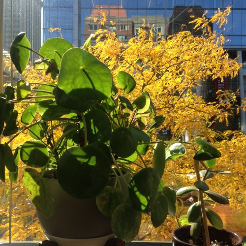 plant-yellow-leaves-pru-window