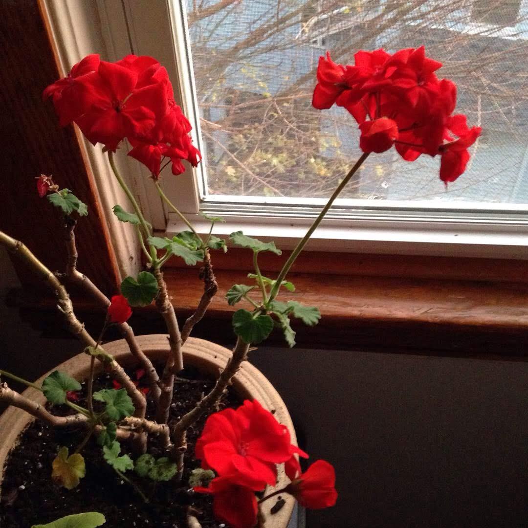 geraniums window red flowers kitchen