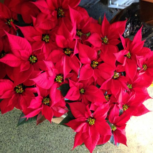poinsettias brattle square florist red flowers Cambridge