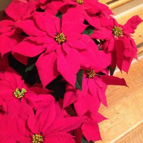 red poinsettias flowers church