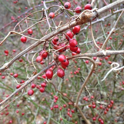 winter berries trail January bare branches