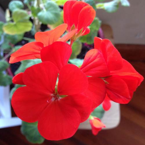 red geranium flower close up